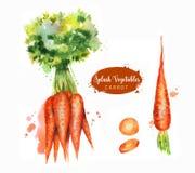 Räcka den utdragna vattenfärgillustrationen av nya orange mogna morötter med färgstänk Isolerat på vitbakgrunden Royaltyfri Fotografi