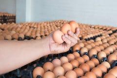 Räcka hållande ägg från feg lantgård på lott av ägget i packen royaltyfri bild