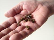 Räcka hållande döda wasps Royaltyfri Bild