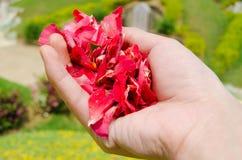 Räcka hållande ro blommapetals Royaltyfria Foton