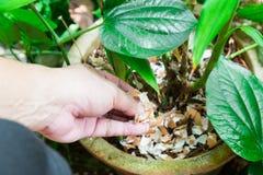 Räcka matande krossade äggskal på växter som organisk fertiliz Arkivfoton