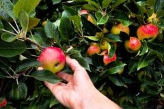 Räcka plockningäpplet från ett äppleträd med massor av äpplen Royaltyfri Fotografi