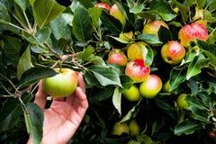 Räcka plockningäpplet från ett äppleträd med massor av äpplen Arkivbild