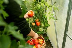 Räcka plockningtomater från växten i växthus Fotografering för Bildbyråer