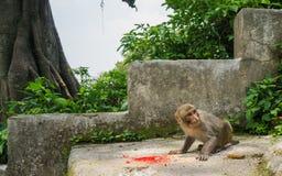 Rädd apa som äter ris Arkivbilder
