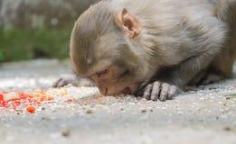 Rädd apa som äter ris Royaltyfri Foto