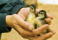 Räddningsaktionen av det öde behandla som ett barn fåglar av en and Arkivfoto