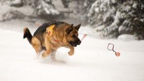 Räddningsaktionhund på bergräddningstjänst Arkivfoto