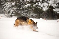 Räddningsaktionhund på bergräddningstjänst Fotografering för Bildbyråer