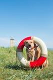 Räddningsaktionhund på kusten Arkivbilder