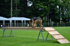 Räddningsaktionhundutbildning med Airdale Terrier royaltyfria bilder