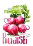 Rädisa Handteckningsvattenfärg på vit bakgrund med titel stock illustrationer