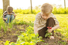Rädisor för barnhjälphacka i trädgård Royaltyfria Bilder