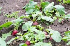 Rädisor som växer i trädgården arkivbilder