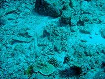 Räfflad Razorfish; Centriscus sciatus Arkivbilder