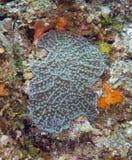Räfflad svamp korall Arkivfoto
