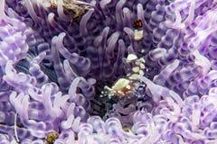 Räka inom en rosa anemon i indonesia Royaltyfri Fotografi