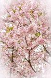 Räknad Cherryblomning Arkivbilder