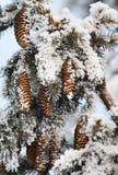räknad granfrosttree royaltyfri fotografi