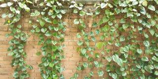 räknad green låter vara väggen Textur för tegelstenvägg med murgrönan royaltyfri fotografi