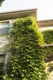 räknad husmurgröna Arkivbilder