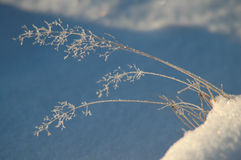 räknad mint för leafs för frostgräshoar Arkivbilder