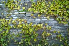 räknad murgrönavägg Fotografering för Bildbyråer