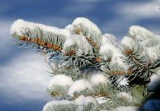 räknad snowspruce Royaltyfri Foto
