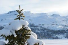 räknad snowspruce Arkivfoton