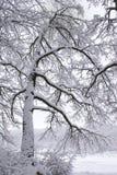räknad snowtree Arkivbilder