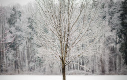 räknad snowtreevinter Arkivfoto