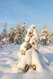 räknade snowsprucetrees arkivbild