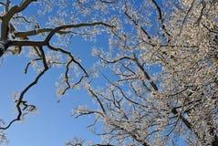 räknade snowtrees Fotografering för Bildbyråer