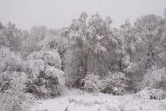 räknade snowtrees Arkivbild