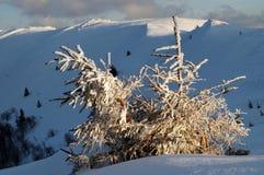 räknat sörja snowtrees Royaltyfri Fotografi