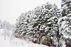 räknat sörja snowtrees Härliga vinterlandskap Frost n Royaltyfri Fotografi