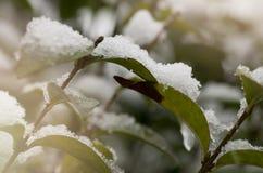 Räkning för gröna växter vid vit ny snö Royaltyfri Bild