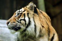 Rätt-fasadbeklädnad tiger Royaltyfri Foto
