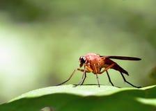 Räuber-Fliege Stockbilder