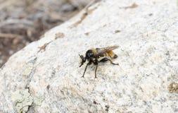 Räuber-Fliege Laphria Janus, den ein Bienen-Nachahmer auf einem Felsen hockte lizenzfreies stockbild