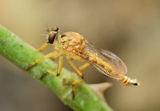 Räuber-Fliegen-oder Meuchelmörder-Fly Macro Bokeh-Hintergrund lizenzfreies stockbild
