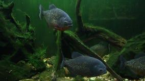 Räuberische aggressive Fischpiranhanahaufnahme stock footage