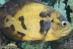 Räuberische Aquariumfische Astronotus Lizenzfreie Stockfotografie