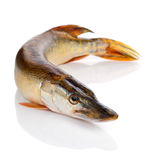 Räuberische Fische auf dem Weiß Stockfotos
