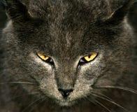 Räuberische Katzen des flüchtigen Blickes Stockbild