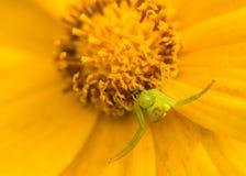 Räuberische Spinnen Stockfotografie