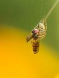Räuberische Spinnen Stockfoto