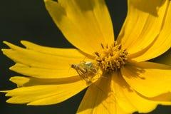Räuberische Spinnen Stockfotos