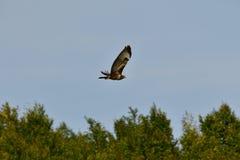 Räuberischer Falke, der über den Wald fliegt Stockbild