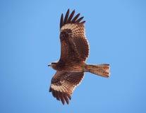 Räuberischer Vogel Stockfoto